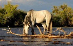 Salt River Wild Horse Management Group – Don't let them become history