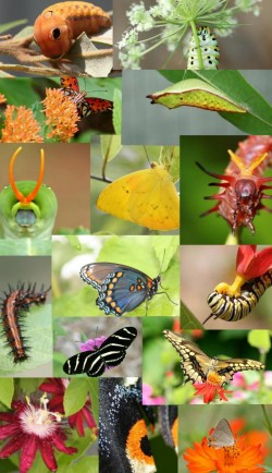 Butterfly Metamorphosis Kits