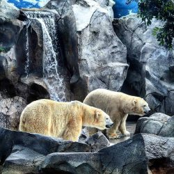 See the world's largest land carnivore up close at Polar Bear Shores at Sea World on the G ...
