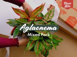 Aglaonema Mixed Pack